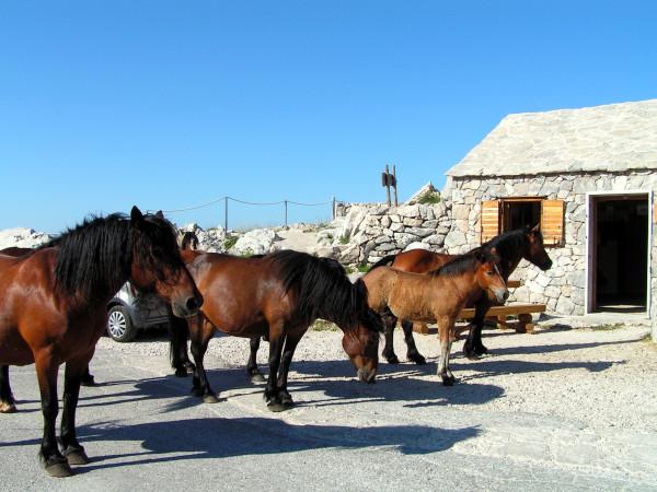 Stádo divých koní