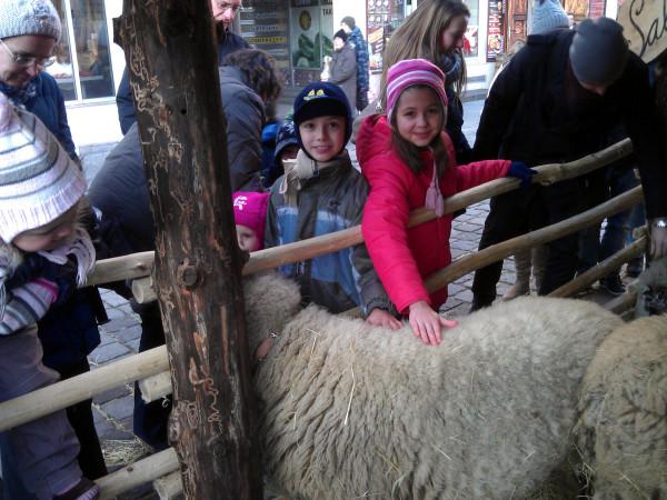 Ovečka v mini-košiari na trhoch - veľká atrakcia pre deti :-)